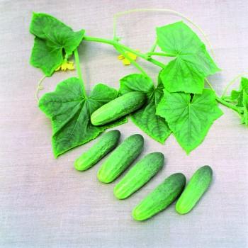 ATOMIC F1, lauko agurkai, 10 gramų