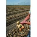 HYBELLE H, ropiniai svogūnai, 250 sėklų