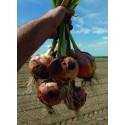 MUSTANG H, ropiniai svogūnai, 250 sėklų