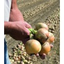 HYLANDER H, ropiniai svogūnai, 150 sėklų