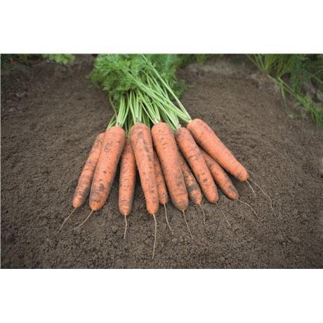 BELGRADO H, valgomosios morkos, 25000 sėklų