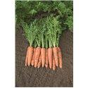 BELGRADO H, valgomosios morkos, 600 sėklų