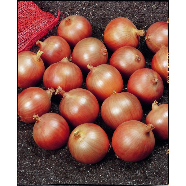 SPIRIT H, ropiniai svogūnai, 250 sėklų
