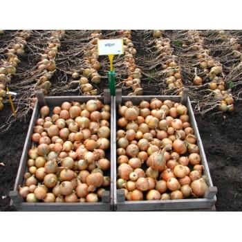 HYTECH H, ropiniai svogūnai, 250 sėklų