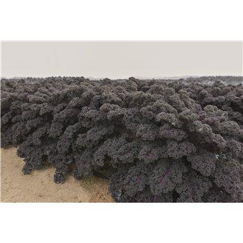 REDBOR H, garbanotieji (lapiniai) kopūstai, 20 sėklų