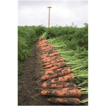 NIPOMO H, valgomosios morkos, 25000 sėklų