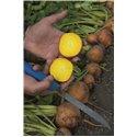 BOLDOR, geltonieji burokėliai, 150 sėklų
