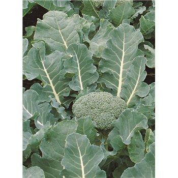 Brokoliai FIESTA F1, 2500 sėklų
