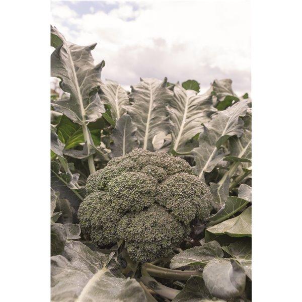 Brokoliai CORONADO H, 30 sėklų