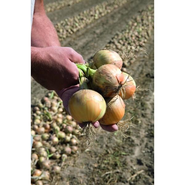 HYBOUND H, valgomieji ropiniai svogūnai, 200 sėklų