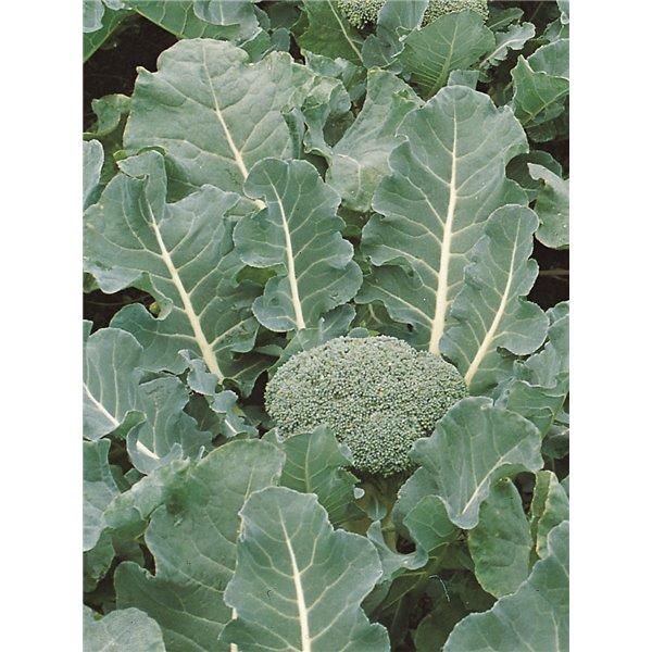 Brokoliai FIESTA H, 30 sėklų