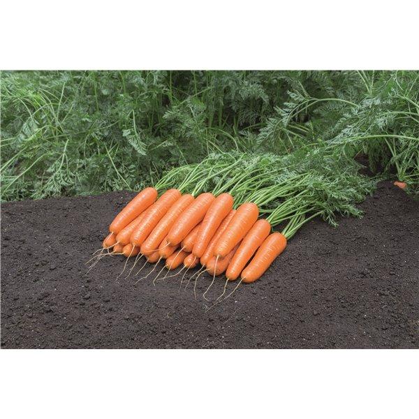 NATUNA H, valgomosios morkos, 600 sėklų