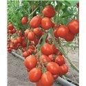 BENITO H, valgomieji pomidorai