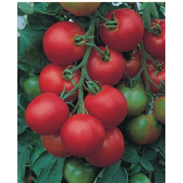 TOLSTOI F1, valgomieji pomidorai, 5 gramai