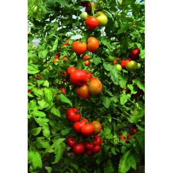 TOBOLSK H, valgomieji pomidorai, 10 sėklų