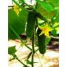 AMOUR H, savidulkiai agurkai, 250 sėklų