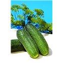 AZTEC H, savidulkiai agurkai, 250 sėklų