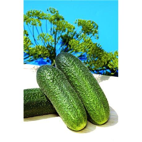 AZTEC F1, savidulkiai agurkai, 250 sėklų