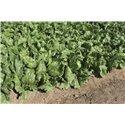 RUMOURS, salotos, 50 sėklų