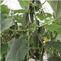 ANSOR H, savidulkiai agurkai