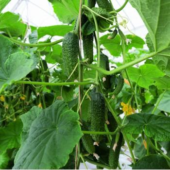 ANSOR F1, savidulkiai agurkai, 250 sėklų
