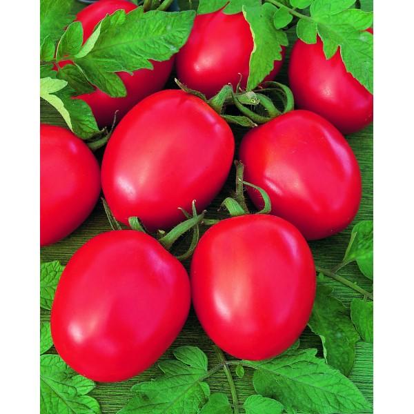 TOLSTOI F1, valgomieji pomidorai, 5 gramai - BEJO ZADEN PAKUOTĖ