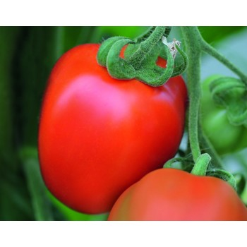 BENITO F1, valgomieji pomidorai, 5 gramai