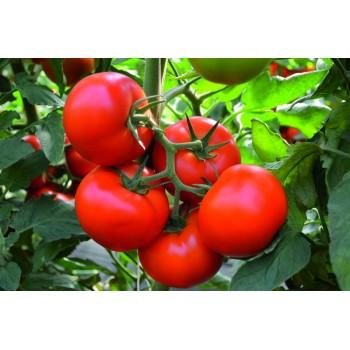TOBOLSK F1, valgomieji pomidorai, 250 sėklų
