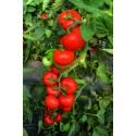 TOIVO H, valgomieji pomidorai, 10 sėklų