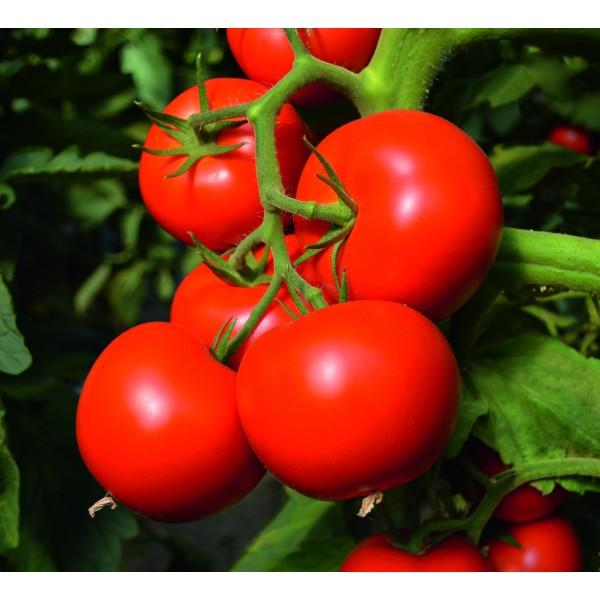 TOIVO F1, valgomieji pomidorai