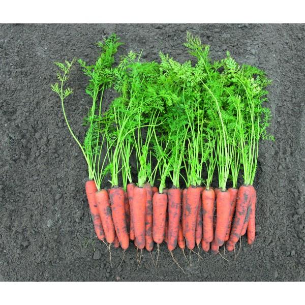 ROMOSA - Berlikumer 2, valgomosios morkos